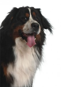 Bernese-Dog-Med-HR